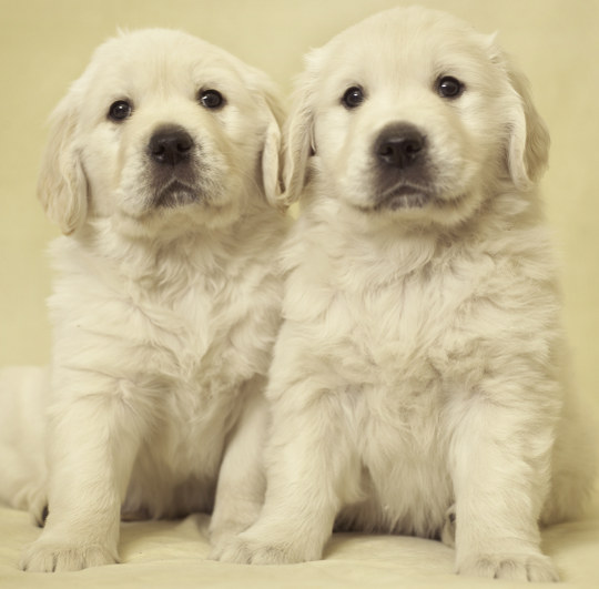 Gillbryan Golden Retriever Puppies